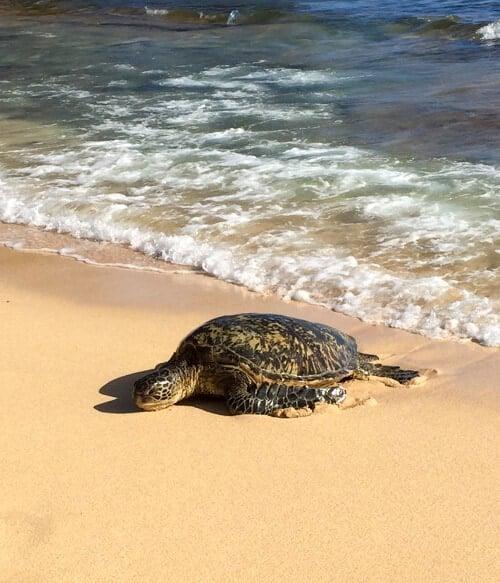 Sea turtle at Shipwreck Beach