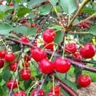 National Cherry Festival in Traverse City