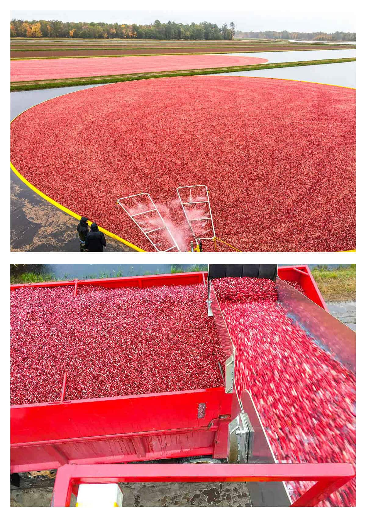 Cranberries being harvested and a recipe for slow cooker Brussels sprouts with cranberries