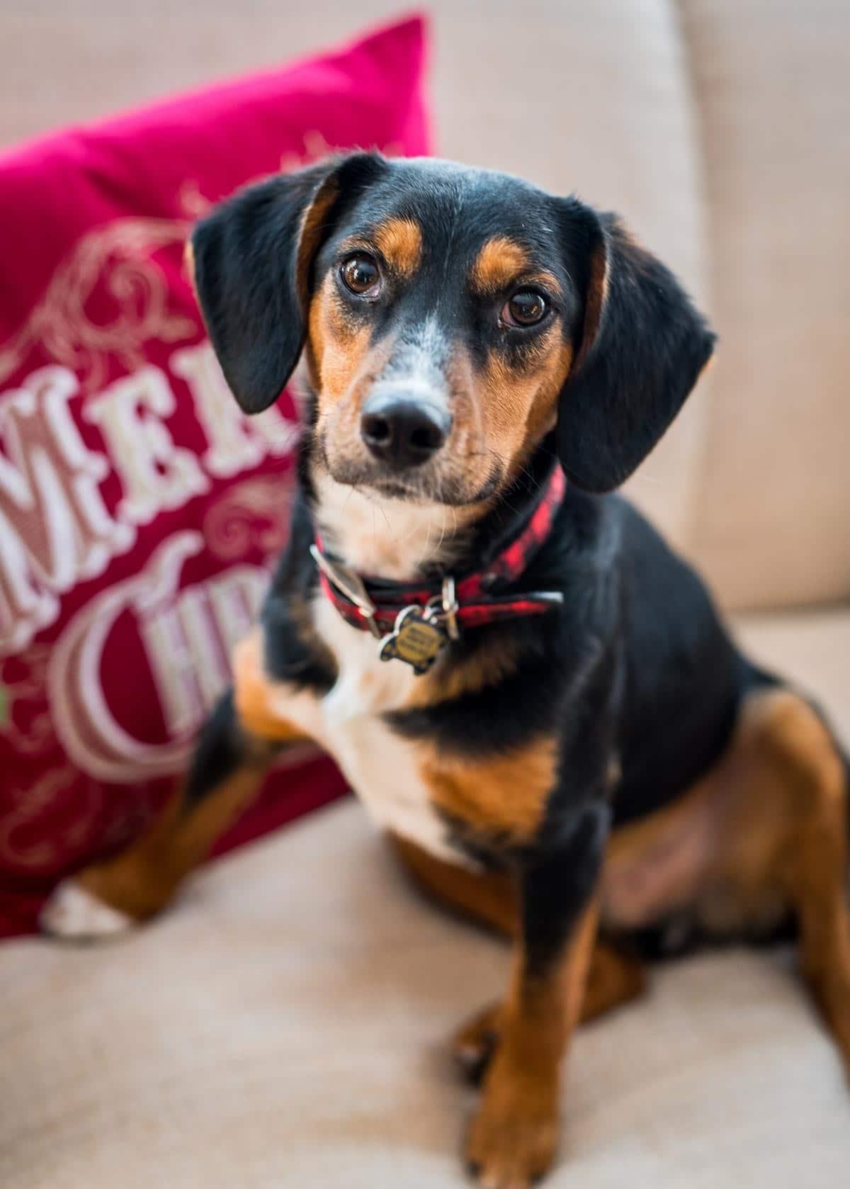 Christmas Beagle!