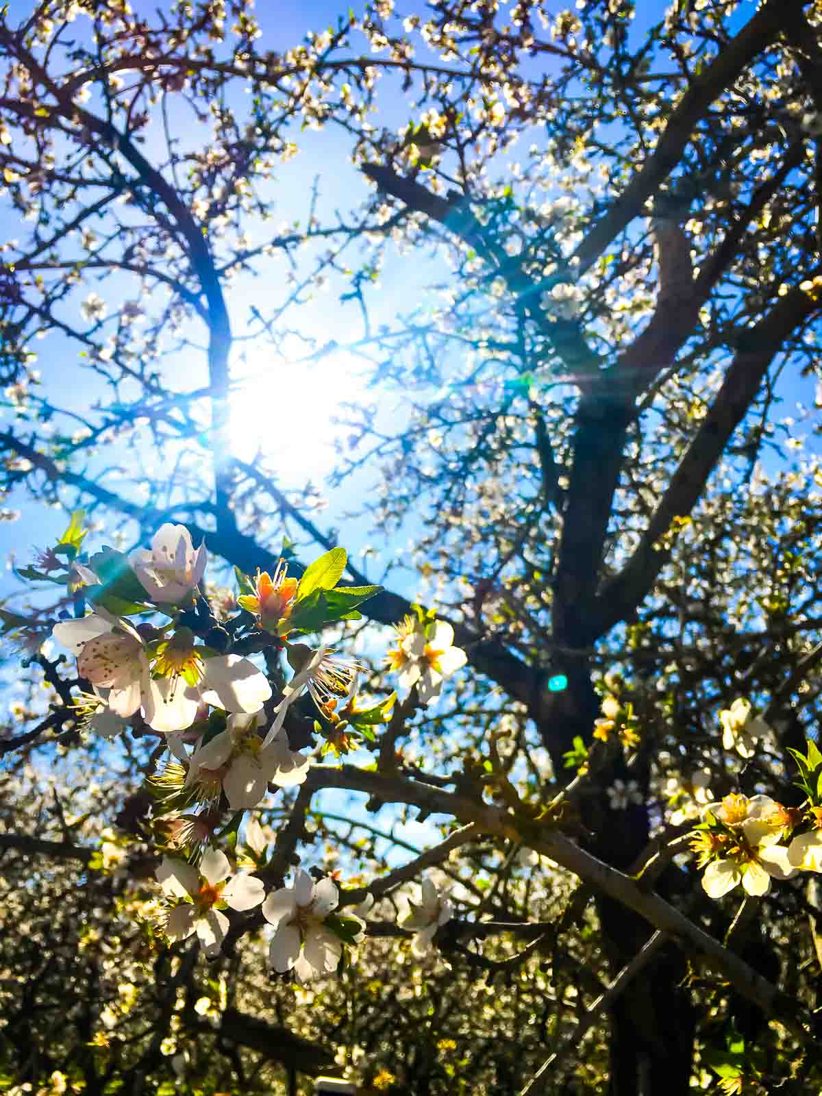 Almond-Orchard-Blooms