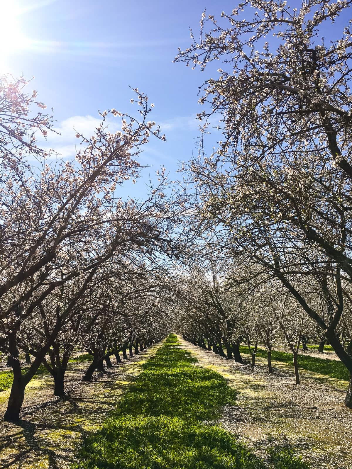 Almond orchard in bloom and a low carb cauliflower mash recipe