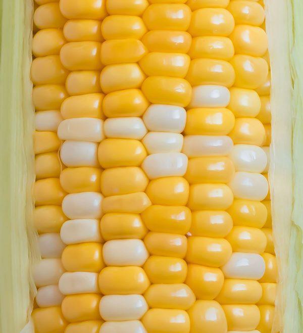 A closeup shot of an ear of fresh corn on the cob used in crock pot creamed corn