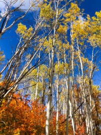 fall colored leaves on Aspen trees