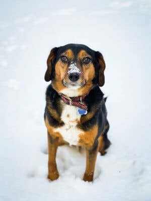 4 year old beagle mix dog in the snow